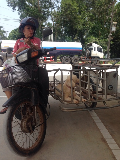 A local lady taking her poodle out for a ride in the sidecar