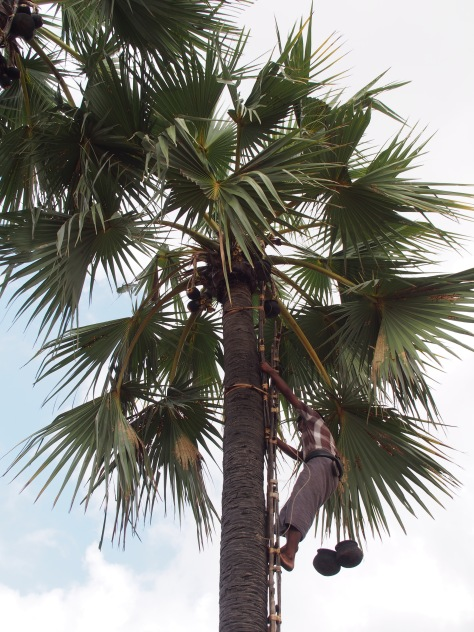 A farmer climbing a tree to collect and milk the fruit